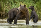 Brown Bear Mother and Cub  Katmai National Park  Alaska