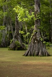 Cypress Swamp  Merchants Millpond State Park  North Carolina