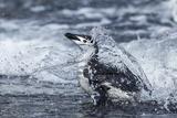 Chinstrap Penguin  Deception Island  Antarctica