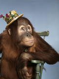 1960s Orangutan Wearing Straw Hat Sitting in Chair