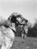 1920s English Setter Holding Retrieved Bird in Mouth