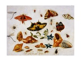 Still Life with Butterflies  Moths and Shells