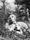 1920s Two Sweet English Setters Laying in Grass