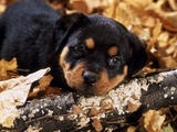 Sorrowful Rottweiler Puppy Lying in Autumn Leaves