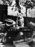 An English Bulldog Perches on a Junk Pile  Ca 1930