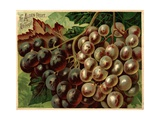 Alden Fruit Vinegar  Grapes Postcard Advertisement