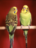 1960s Pair of Two Yellow Green Parakeets Perched Together