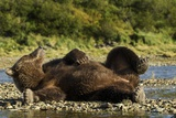 Resting Brown Bear  Katmai National Park  Alaska
