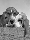 1950s Two Sad Looking Twelve Week Old Basset Hound Puppies Nestled Together