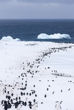 Chinstrap Penguins in Snow  Deception Island  Antarctica