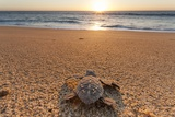 Olive Ridley Turtle Hatchling  Baja  Mexico