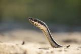 Grass Snake  Madagascar