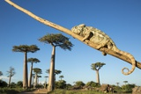 Chameleon  Avenue of Baobabs  Madagascar
