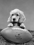 1960s Cocker Spaniel Puppy with Front Paw Resting on American Football