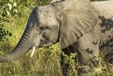 Elephant  Sabi Sands Reserve  South Africa