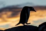 Gentoo Penguin on Wiencke Island  Antarctica