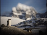 Gentoo Penguin on Goudier Island  Antarctica