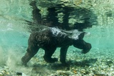 Underwater Brown Bear  Katmai National Park  Alaska