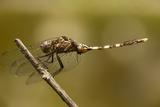 Dragonfly  Madagascar