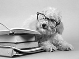 1950s White Poodle Wearing Black Eye Glasses Sitting Beside a Pile of School Books