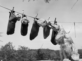 1950s Mother Cocker Spaniel Tending Her 4 Puppies Hanging in Socks on a Laundry Clothesline