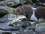 Brown Bear Cub and Huge Salmon  Katmai National Park  Alaska