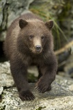 Brown Bear Cub  Katmai National Park  Alaska