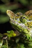 Chameleon  Kirindy Forest Reserve  Madagascar