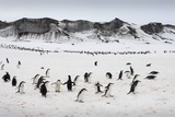Chinstrap Penguins  Deception Island  Antarctica