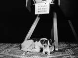 1930s-1940s Wire Fox Terrier Dog Lying Curled Up on Oriental Carpet under Table
