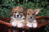 Two Welsh Corgi Puppies in Basket