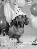 1960s Dachshund Wearing Polka Dot Party Hat