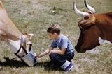 Boy Feeding Cows