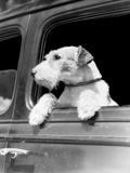 Profile Portrait of Wire Fox Terrier Dog Looking Out of Automobile Window