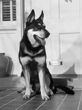 1950s German Shepherd Dog Sitting Outside Front Door of Home Guard Security Protection