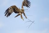 Tawny Eagle  Chobe National Park  Botswana