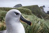 Gray-Headed Albatross on Diego Ramirez Islands  Chile