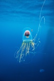 Underwater Jellyfish in Diego Ramirez Islands  Chile