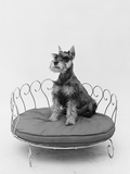 1950s Schnauzer Dog Sitting Prettily Posed in Brass Doggie Bed