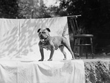 English Bulldog Portrait  Ca 1930