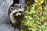 Young Raccoon Procyon Lotor from Hole in Tree Trunk