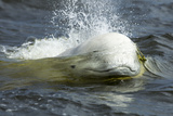 Beluga Whale  Hudson Bay  Canada