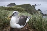 Gray-Headed Albatross on Diego Ramirez Islands  Chile