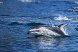 Pacific White-Sided Dolphin  BC  Canada