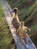 Two Ducklings Standing on a Log