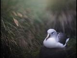 Albatross on Diego Ramirez Islands  Chile