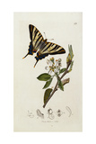 A Scarce Swallow-Tail Butterfly (Iphiclides Podalirius) on Pear Blossom (Pyrus Communis)
