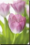Tulipa Roseus II