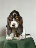 Bassett Hound Puppy with Soulful Sad Eyes Looking Directly Ahead