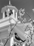 Robin Perched on Blossoming Branch with Church Steeple in Background